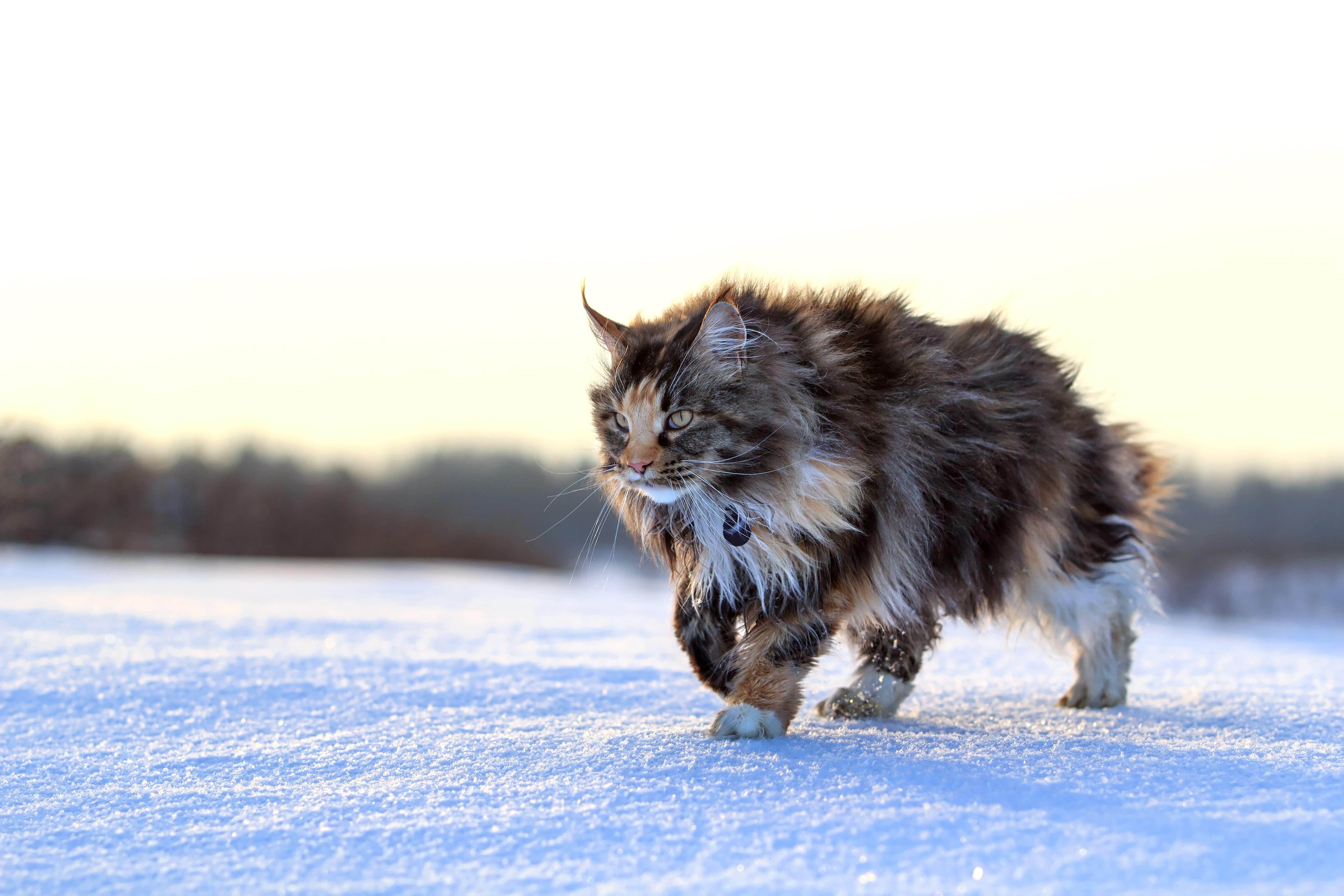 Le Main Coon fait partie de ses races de chat qui sont prédisposés à des problèmes cardiaques