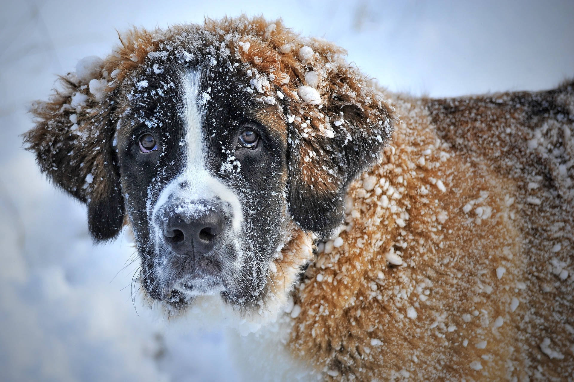 Le saint bernard un chien idéal en montagne