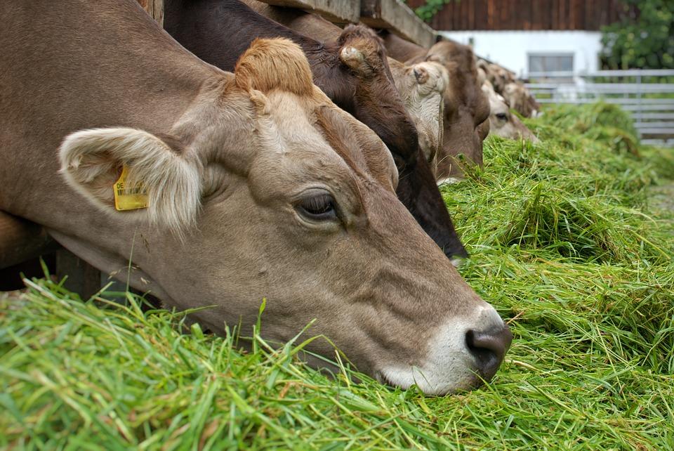 vache herbe